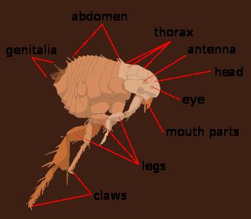 b2ap3_thumbnail_Scheme_flea_anatomy-en.png